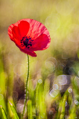 Kringelmohn (*altglas*) Tags: flower droplets bokeh bubbles dew poppy blume tautropfen mohn trioplan 28100mm meyergoerlitz bubblebokeh diaplan