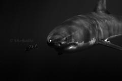 David & Goliath (Sharkoliv) Tags: bw underwater greatwhiteshark 2014 sharkcage guadalupeisland nautilusexplorer