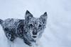 Playing (FrøydisPhots) Tags: dog pet snow playing norway norge hund bordercollie sørtrøndelag snø hunder kjæledyr leker winther vintner romjul berkåk myesnø