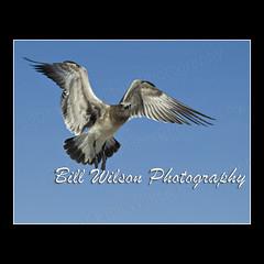 Gull (wildlifephotonj) Tags: seagulls bird nature birds wildlife seagull gull gulls beachbirds naturephotography shorebirds wadingbirds naturephotos wildlifephotography wildlifephotos natureprints wildlifephotographynj naturephotographynj