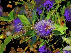 Spring Flora Bulla... (maginoz1) Tags: nov canon spring flora vic aus 2014 g16 bulla