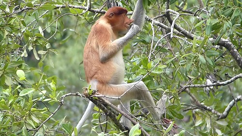 Proboscis Monkey (Nasalis larvatus) young male eating leaves
