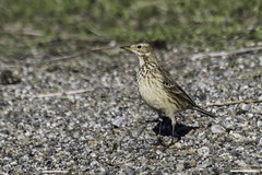American Pipit (Bob Gunderson) Tags: california birds northerncalifornia eastbay alamedacounty americanpipit anthusrubescens haywardregionalshoreline mttrashmore pipits canoneos7dmarkii
