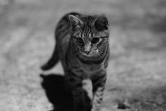 (joseluis.cueto) Tags: naturaleza fauna canon eos gatos animales 700d