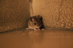 49/52 - That little guy... (Sinuh Bravo Photography) Tags: winter cute mouse rat tiny hiding littlemouse canonef50mmf18ii niftyfifty sooc littlerat canoneos550d