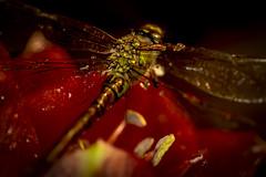 beautiful dragonfly (also sleepless) Tags: 9 fertig