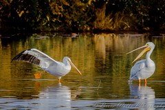 You put your right foot in, your right foot out.... [Explored] (Arizphotodude) Tags: arizona bird nature water nikon wildlife birding pelican gilbertwaterranch gilbertriparianpreserve d7000 sigman150500