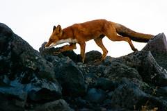 DSC_0063-5 (kuhnmi) Tags: morning nature animal animals landscape volcano tiere russia natur fox stroll tier fuchs vulkan kamchatka russland    avachinsky avacha     avachinskyvolcano   avachinskayasopka  avachinskyvulkan
