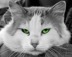Cato (Irving G.Toledo) Tags: cats eye cat felino