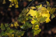 Ginko in fall (ponz) Tags: california colors leaves yellow ginkgo fallcolors huntingtonlibrary pasadena  lrexportviajf