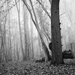 Carré brumeux en sous-bois (steph20_2) Tags: bw white black tree monochrome forest lumix noir noiretblanc ngc panasonic g5 pa monochrom arbre blanc forêt brume sousbois m43 skanchelli