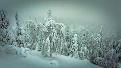 Ruka (Tuomo Lindfors) Tags: trees winter snow forest finland kuusamo lumi talvi mets ruka puut pyhvaara theacademytreealley pyhnjyssys pikkupyhvaara