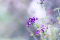 Verbene (kly420) Tags: desktop wallpaper plant flower dof bokeh pastel background dreamy canonef85mmf18 verbenaceae eisenkraut verbene img11384