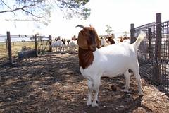 Weaners Kambing Boer (zulbaning) Tags: boer kambing