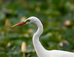 Walking on Water (alexandravarlakov) Tags: bird waterbird egret birdportrait intermediateegret egrettaintermedia ardeaintermedia