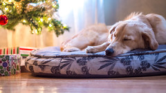 Exhaustion (CooT46) Tags: christmas xmas dog puppy jack bed sleepy exhausted goldenshepherd standguard t5i