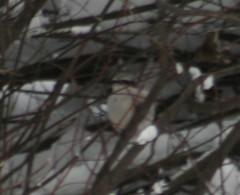 Northern Shrike, Lanius excubitor, Sax-Zim Bog, Saint Louis County, Meadowlands Minnesota, Admiral Road, Photo by Wes (wesbird72) Tags: black bird minnesota birds america birding beak american aba birder northernshrike laniusexcubitor northamericanbirds saxzimbog minnesotabirds saintlouiscounty admiralroad americanbirds birdsofminnesota admiralrd birdsofnorthamerica americanbirdingassociation photobywes minnesotabird abaarea meadowlandsminnesota americanbirding americanbirder minnesotabirding minnesotabirder birdsofthesaxzimbog saxzimbogbirding saxzimbogbirds