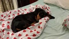 He is tired after three nights at work (verbeek_dennis) Tags: nokia dachshund tax kaapo dashond myrkoira  gravhund jazvek lumia830 tksa