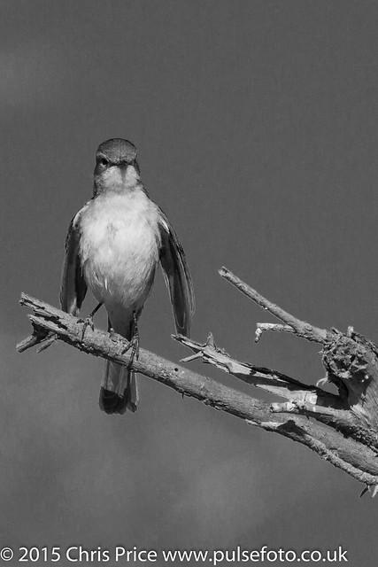 Flycatcher, Madikwe Game Reserve