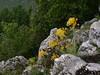 Isatis sp. Három-kő. (Pip Sunmas) Tags: brassicaceae woad isatis p5259918
