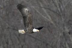 Eagle Majesty (Skeeter Photo) Tags: minnesota inflight mississippiriver mn americanbaldeagle redwing baypointpark
