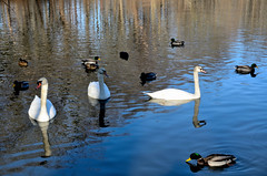 Scenes from a nicer January 18th (Eddie C3) Tags: newyorkcity nature birds swans vancortlandtlake muteswans nycparks natureinthecity vancortlandtpark naturewalks