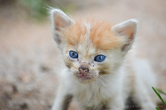 Behind Blue Eyes (Iago Diogenes) Tags: blue cute animal cat eyes