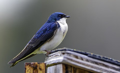 Tree Swallow (C. P. Ewing) Tags: blue tree bird nature birds animal animals colorful natural swallow avian