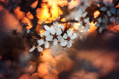Sunset (Psztor Andrs) Tags: tree nature lens photography soap nikon hungary dof projector blossom bokeh grlitz bubble bloom shallow dslr leafs f28 meyer andras 80mm pasztor d5100 diaplan