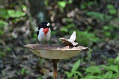Confused Rose-Breasted Grosbeak (samurai66) Tags: county birds illinois spring backyard kane grosbeak songbirds rosebreasted