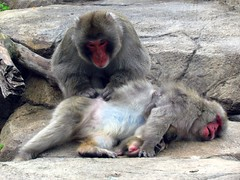 Japanese macaques (pastough) Tags: chicago illinois lincolnparkzoo japanesemacaque macacafuscata may2016