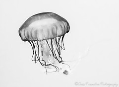 Pacific Sea Nettle (Chris Parmeter Photography (smokinman88)) Tags: white fish abstract black nature monochrome nikon d750 jelly highkey tamron 1530mm blackwhitehdr