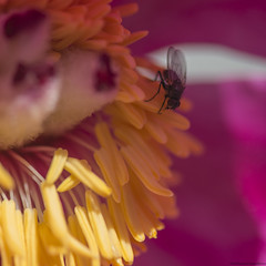Peony with Fly (peter_hasselbom) Tags: flower yellow closeup fly petals magenta peony stamens pistil petal diptera 105mm musca paeoniamasculaarietina
