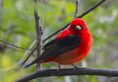 scarlet tanager (duffy2317) Tags: scarlet nikon zoom nikkor 70300mm vr afs tanager ifed f4556g