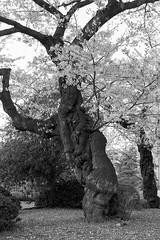 201604-07 (GenJapan1986) Tags: blackandwhite film japan spring university   cherryblossoms  miyagi  tohokuuniversity  ilfordhp5plus 2016      nikonnewfm2