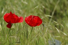 Mohn (ingrid eulenfan) Tags: nature natur pflanze wiese mohnblume