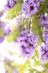 Jacarandas in Bloom (Mademoiselle Mermaid) Tags: california losangeles purple santamonica jacaranda purpleflowers jacarandas jacarandatree flowerphotography purpletrees jacarandatrees purplefloweringtrees mademoisellemermaid