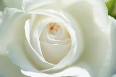 アンナプルナ/Annapuruna (nobuflickr) Tags: rose rosa sp 薔薇 ばら アンナプルナ 2008年 awesomeblossoms annapuruna バラ科バラ属 20160518dsc09465