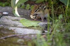 IMG_4645eFB (Kiwibrit - *Michelle*) Tags: tree grass birds woodpecker squirrel maine feeder chipmunk monmouth 2016 061916