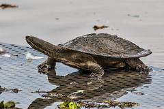 Amphibious Assault (gecko47) Tags: turtle reptile urbanwildlife mossy onland brisbaneshortneckedturtle freshwaterturtle emyduramacquariisignata brisbaneriverturtle minnippiwetlands