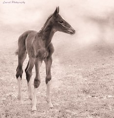 filly (laurek.photography) Tags: portrait horse nature landscape spring natural pony printemps filly foal poulain poney