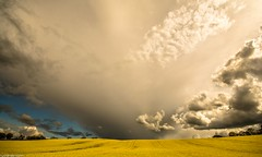 Fields of gold. (AlbOst) Tags: clouds landscapes farmland fields rapeseed oilseedrape clearingskies