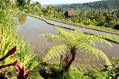 Landscape of Bali / Paysage Balinais (geolis06) Tags: geolis06 bali 2015 asie asia indonsie indonsia munduk mundukricefields riziresmunduk olympusomdem5 olympusm1240mmf28 baliricefield rizierebali riceoffieldbali landscape paysage balilandscape paysagebali balinesepeasant
