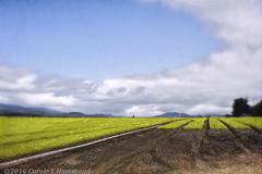 2016-06-25-_MG_1671TTr (CarolesPhotoArt) Tags: trees rows crop seedlings
