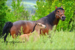 Princesse & Gucci (PhotOw'graphie) Tags: horse nature animal cheval animaux extrieur chevaux foal poulain