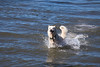Husky in Water (ddouangc) Tags: park dog dogs point outdoors husky huskies isabel siberian