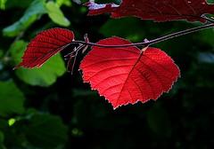 Pausing (zinnia2012) Tags: red luminous eveningwalk lumiredusoir rouge feuillage