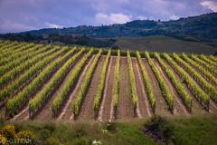 CRW_7523-1 (03TTAM) Tags: toscana vigna filari viafrancigena