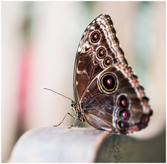 Owl Butterfly 1 (kevingrieve610) Tags: macromonday flickr wow canon 6d ef100mm sensational butterflies natural history museum wings flight
