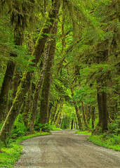 Winding Road (saganorth2000) Tags: forest washington nationalpark dirtroad mossy lakequinault scurve treetunnel olympicnp temperaterainforest